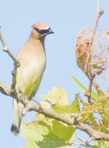 Pondering Cedar Waxwing by Sumoflam Photography