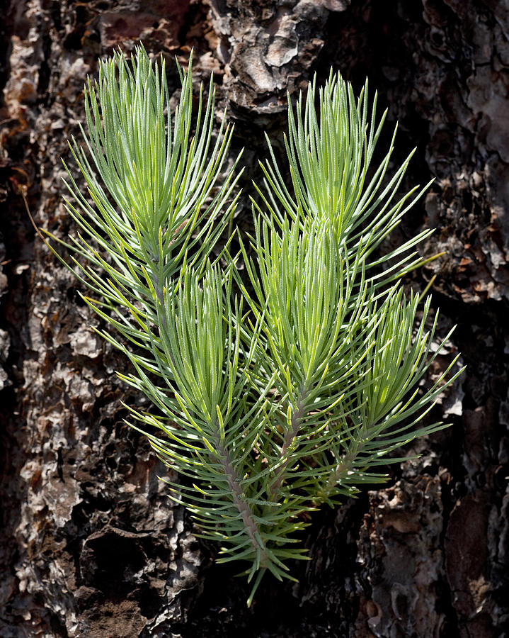 Ponderosa Photograph - Ponderosa Pine 4 by Kelley King