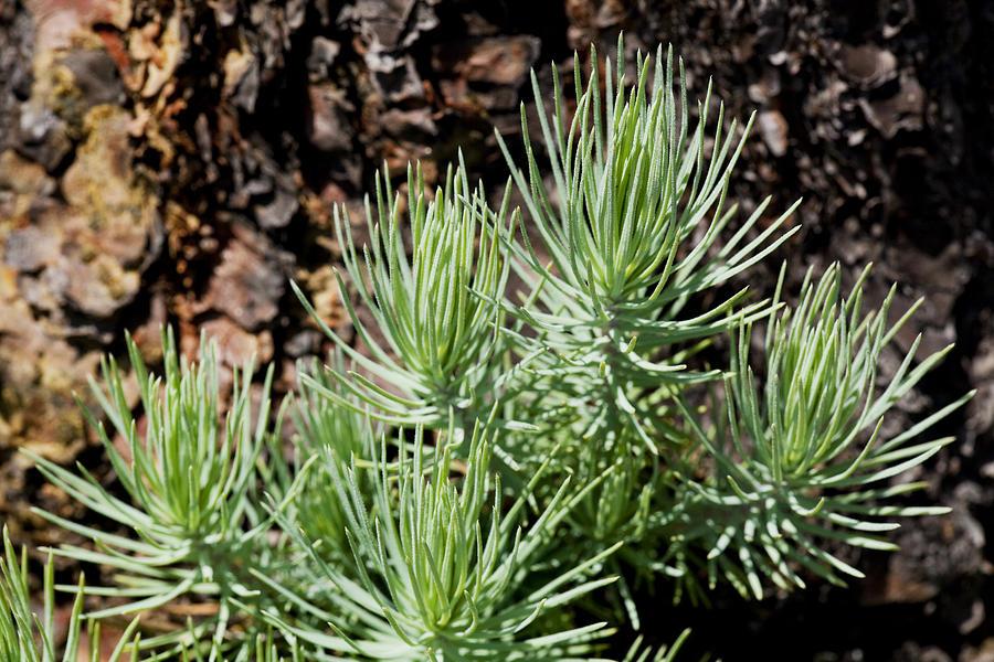 Ponderosa Photograph - Ponderosa Pine 7 by Kelley King