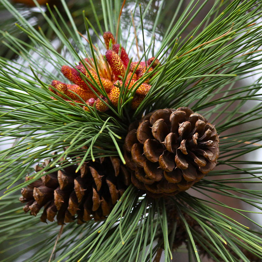 Ponderosa Pine Cones Photograph by Karon Melillo DeVega