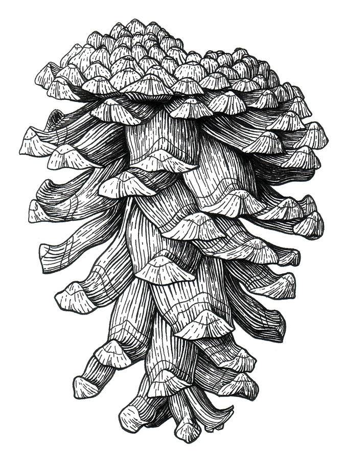 Pinecone Drawing - Ponderosa Pinecone by Kirsten Wahlquist