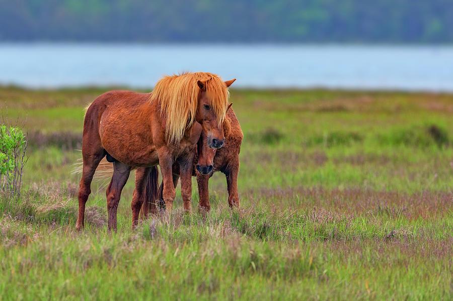 Horses Photograph - Ponies on Assateague by Rick Berk