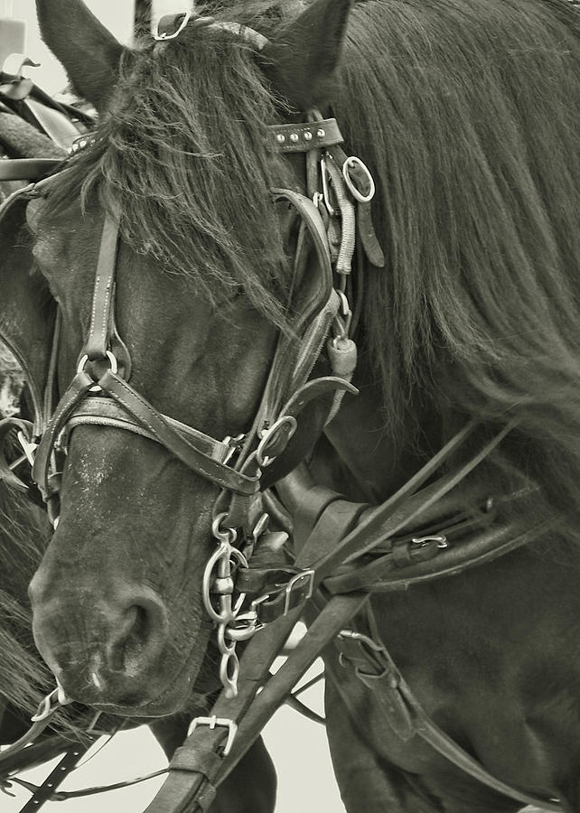 Blinders Photograph - Pony Rides by Dressage Design
