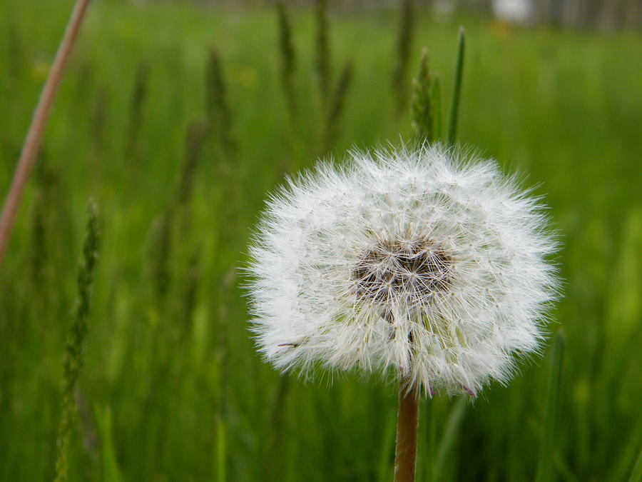 Dandelion Photograph - Poof by AmyLynn Harris