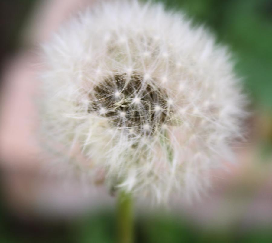 Dandelion Photograph - Poof by Lynnette Johns