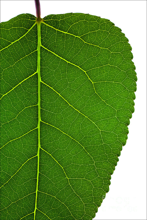 Science Photograph - Poplar Leaf A Key To Biofuels by Science Source