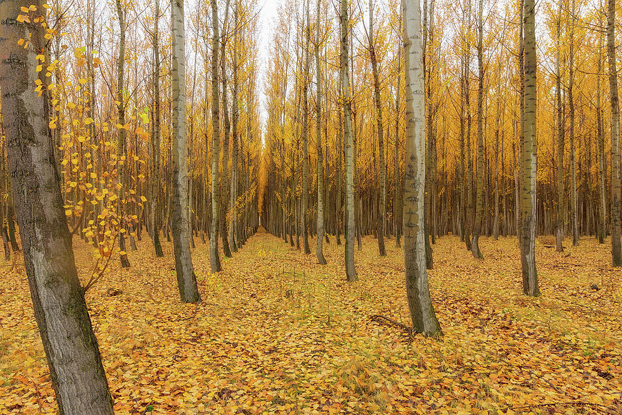 Poplar Photograph - Poplar Tree Farm In Oregon by David Gn