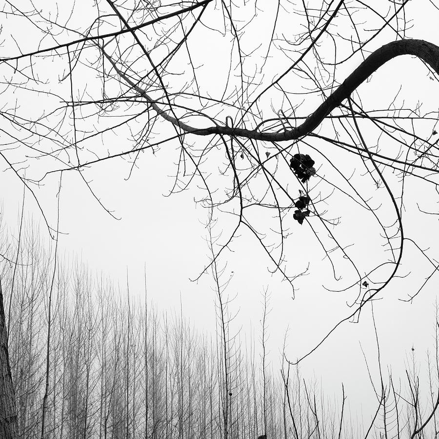 Monochrome Photograph - Poplars Foggy Morning by Guido Montanes Castillo