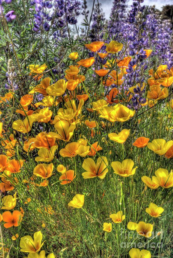 Poppy Photograph - Poppies And Lupines by Jim And Emily Bush