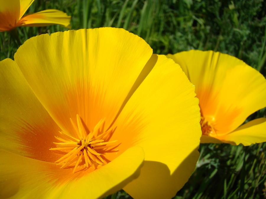 Poppies art poppy flowers 4 golden orange california poppies poppies photograph poppies art poppy flowers 4 golden orange california poppies by baslee troutman mightylinksfo