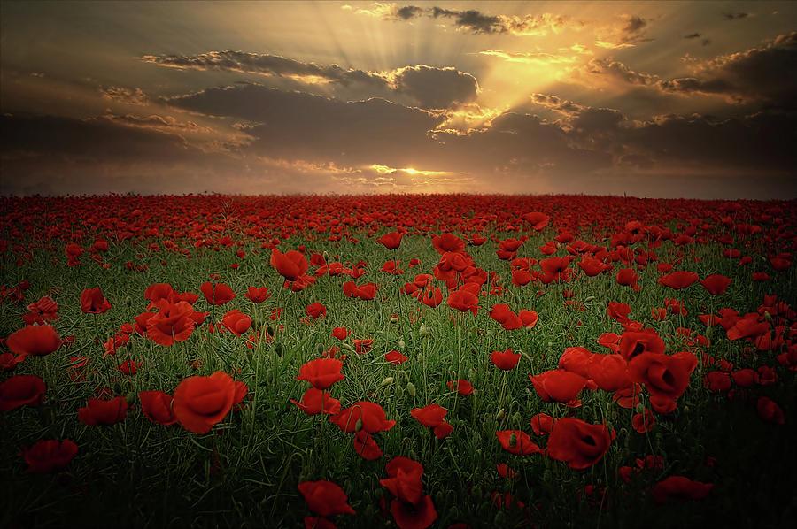 Poppies Photograph - Poppies At Sunset by Albena Markova
