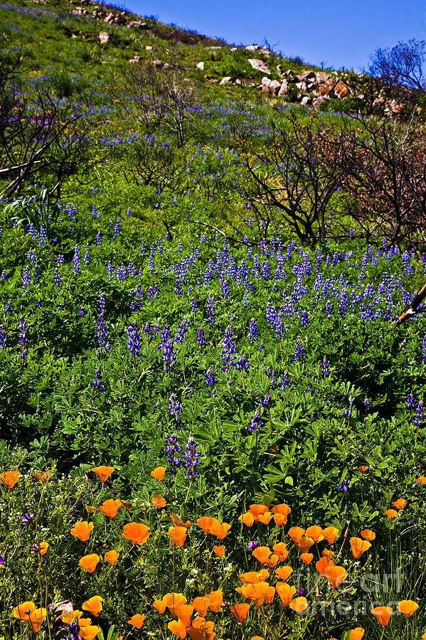 California Photograph - Poppies Before Lupines by Greg Clure