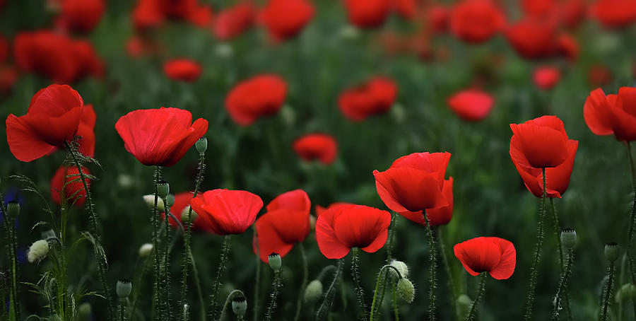 Agriculture Photograph - Poppies by Bess Hamiti