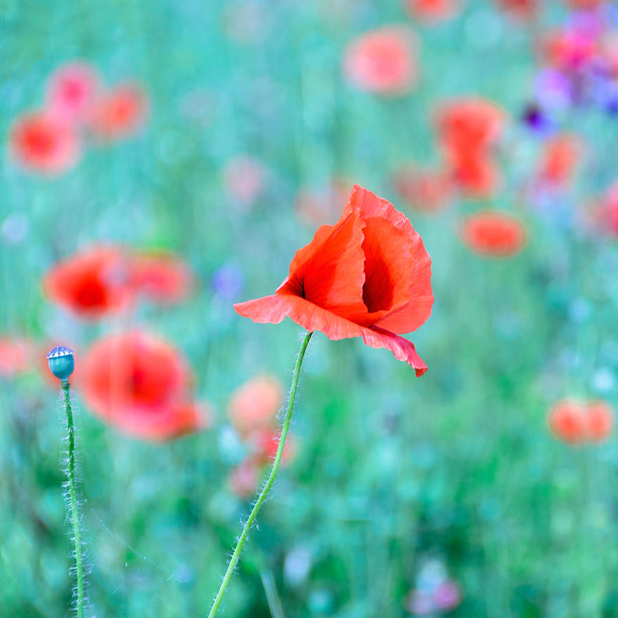 Poppies In A Field Photograph