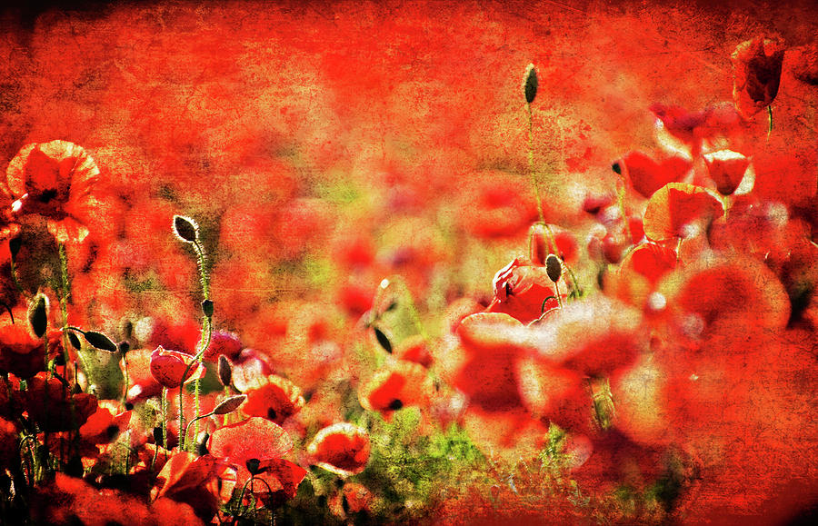 Abstract Photograph - Poppies by Meirion Matthias