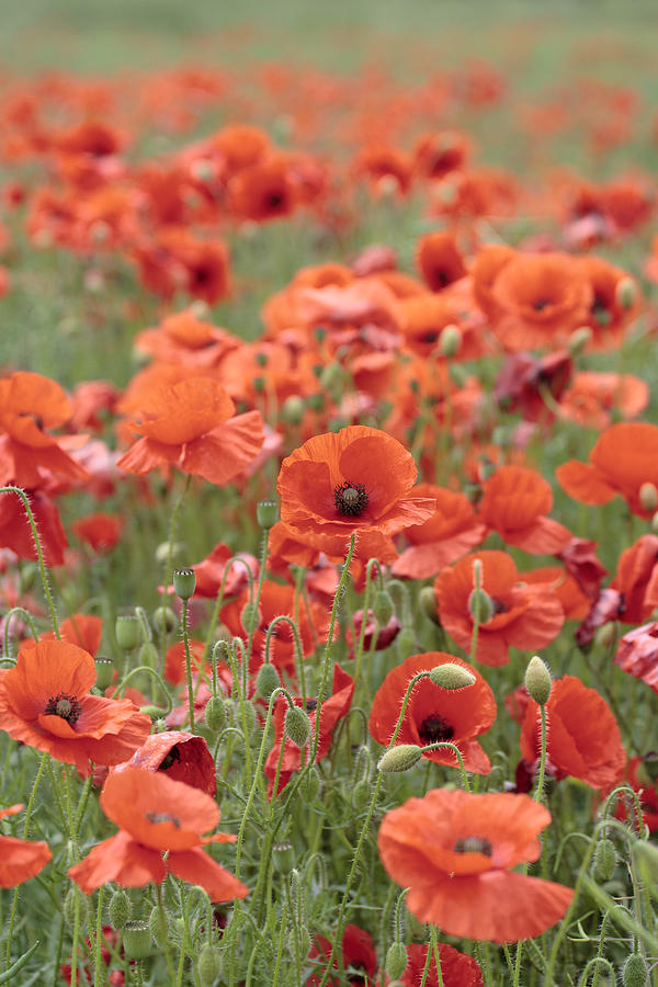 Poppy Photograph - Poppies by Phil Crean