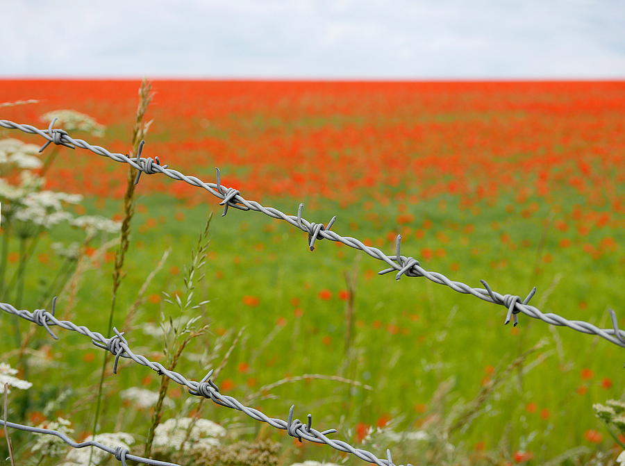 Poppies by Richard Reeve