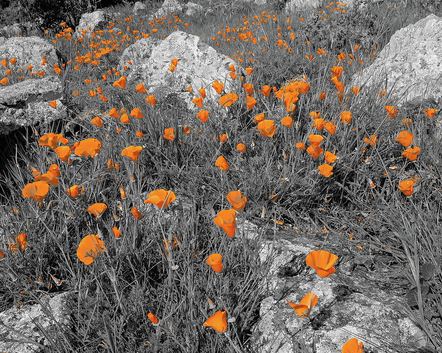 Poppies With Rocks Abstract Garin Regional Park Hayward California 2 Photograph
