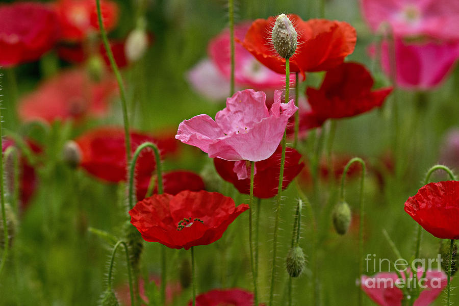 Flowers Photograph - Poppies by Susan Garver