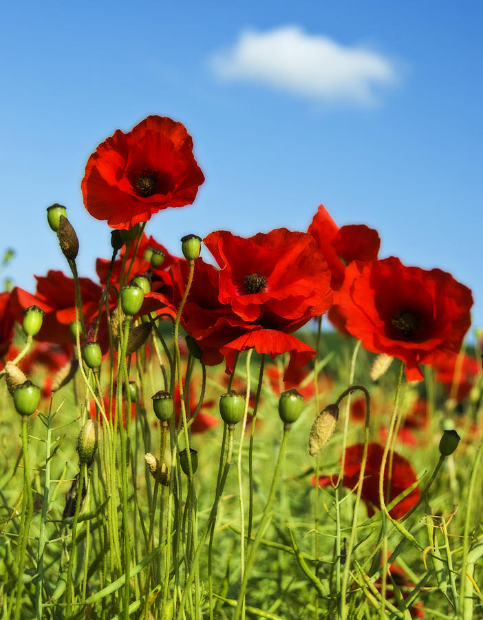 Field Photograph - Poppies by Svetlana Sewell