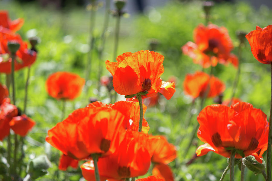 Poppin' Poppies by Diane Mintle
