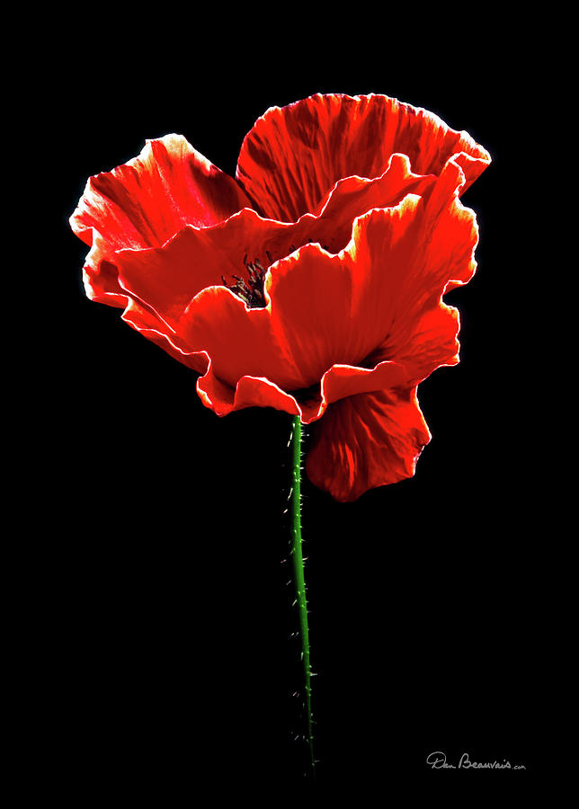 Poppy Blossom #1 Photograph