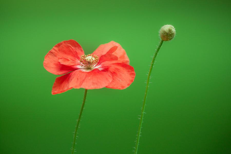 Flower Photograph - Poppy by Bulik Elena