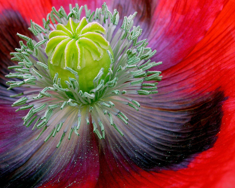 Colorful Photograph - Poppy by David April