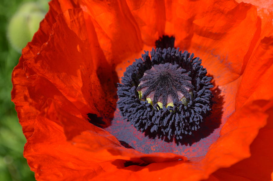 Poppy Photograph - Poppy by Ekta Gupta