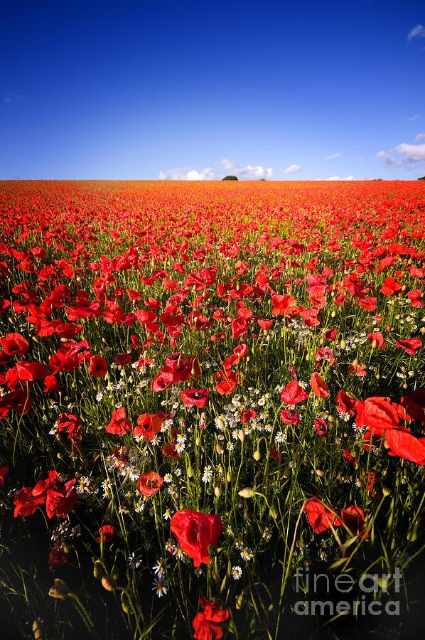 Beautiful Photograph - Poppy Field by Meirion Matthias