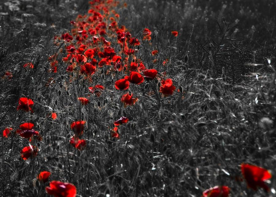 Poppy Photograph - Poppy Field by Svetlana Sewell