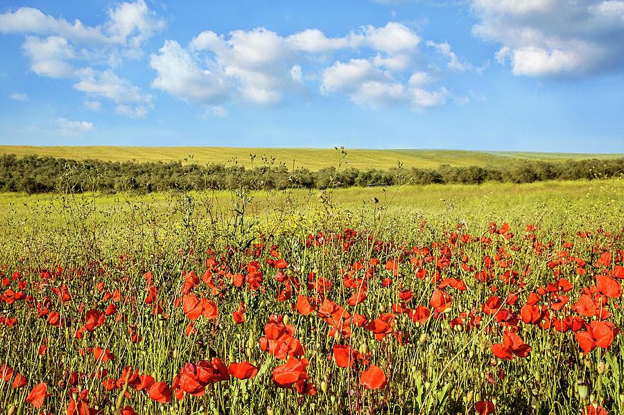 Poppy Fields Photograph