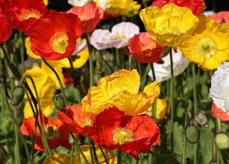 Poppy Photograph - Poppy Flower Garden by Debi Dalio