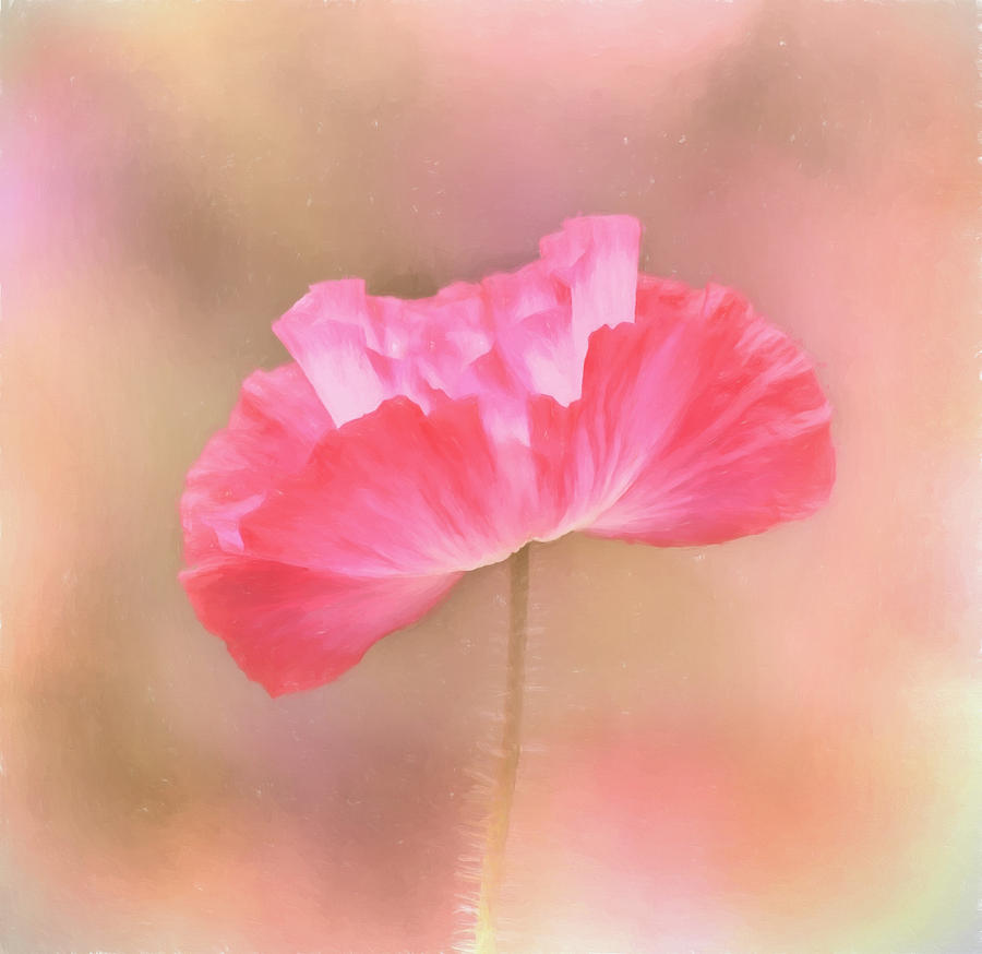 Poppy Flower Tickle Me Pink Photograph By Kim Hojnacki