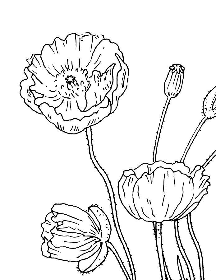 poppy flowers drawing drawing by irina sztukowski