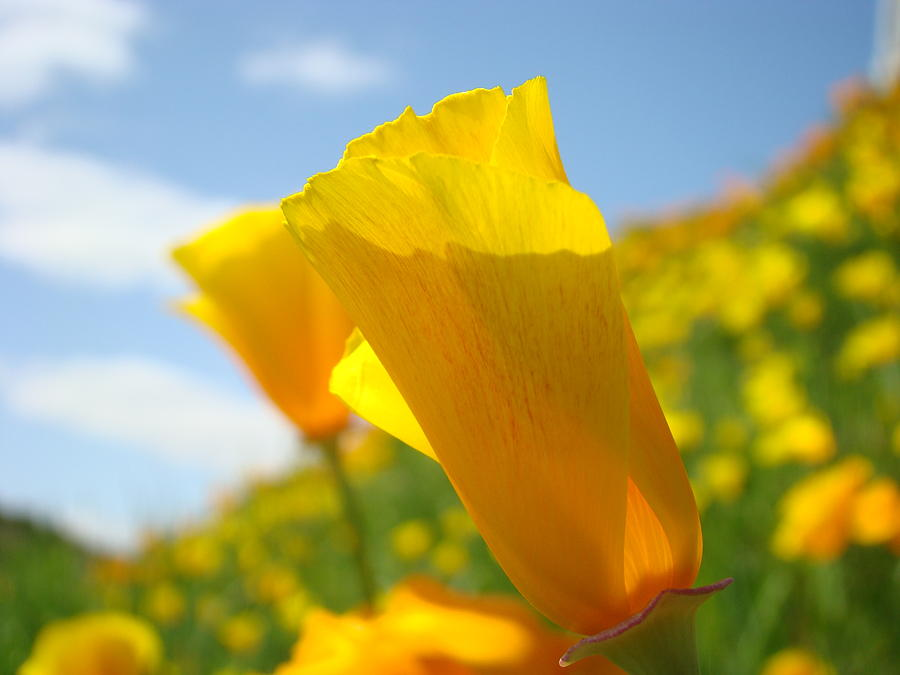Poppies Photograph - Poppy Flowers Meadow 3 Sunny Day Art Blue Sky Landscape by Baslee Troutman