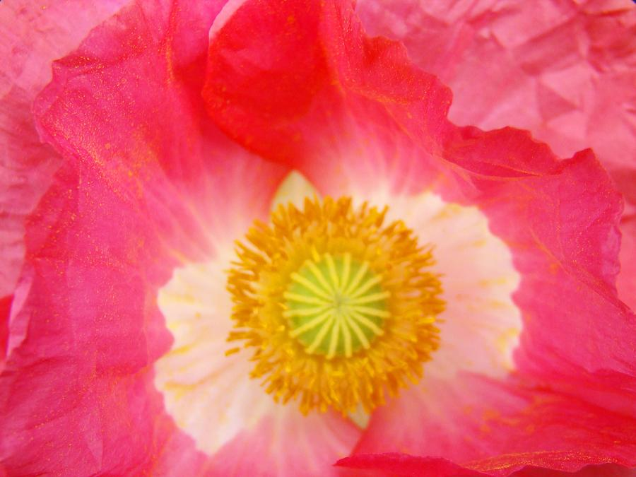 Poppy Flowers Pink Poppies Art Prints Baslee Troutman Photograph