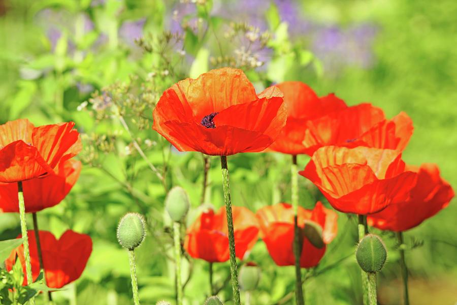 Oriental Poppy Photograph - Poppy Garden by Debbie Oppermann