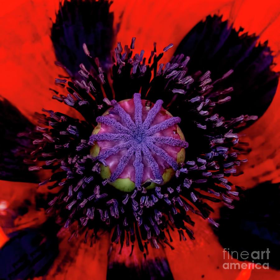 Poppy Heart 3 Photograph