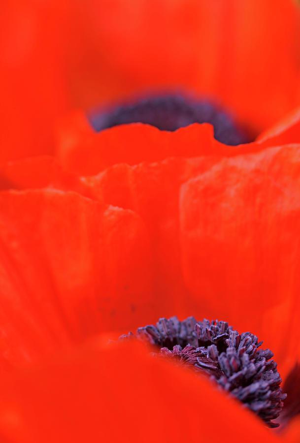 Oriental Poppy Photograph - Poppy Heart I by Debbie Oppermann