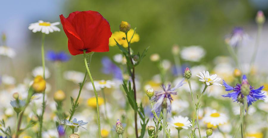 Poppy in Meadow  by Diane Fifield