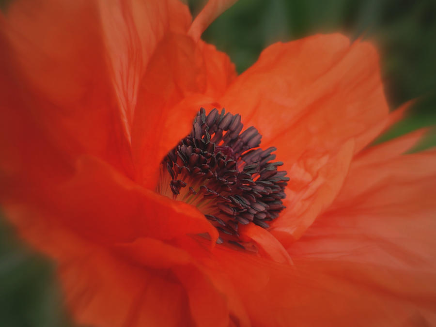 Poppy Photograph - Poppy Love by Martin Morehead