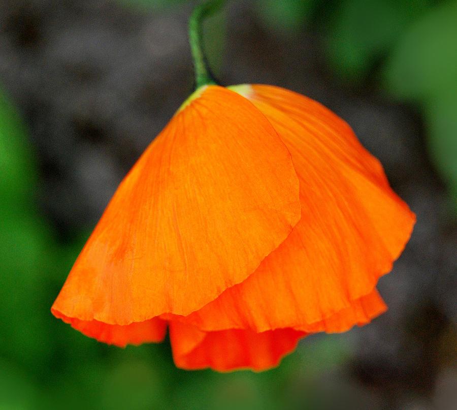 Poppy Photograph - Poppy by Marilynne Bull