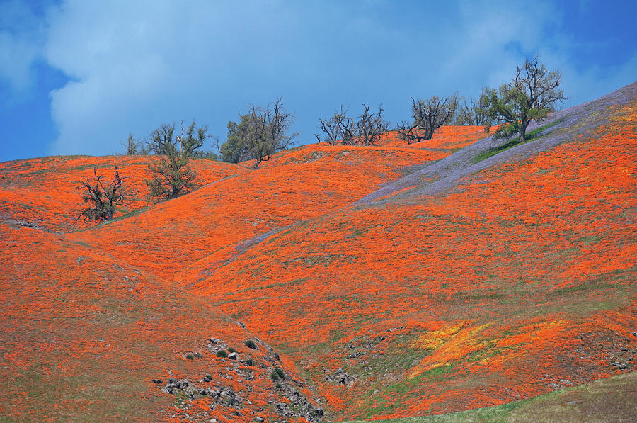 Poppy Paradise at the Top of Tejon Pass by Lynn Bauer