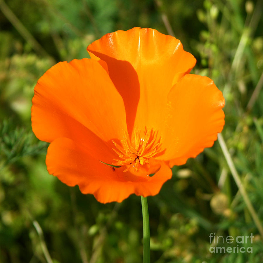 Floral Photograph - Poppy by Paul Anderson