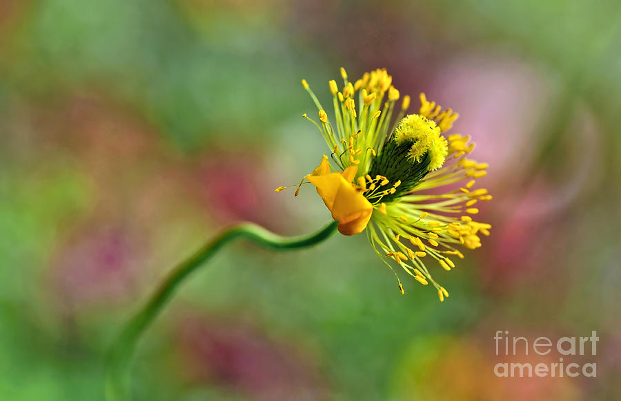Poppy Photograph - Poppy Seed Capsule by Kaye Menner