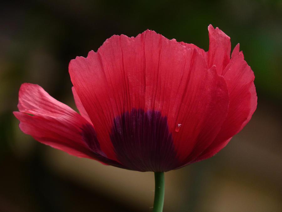 Garden Photograph - Poppy by Shannon Gresham