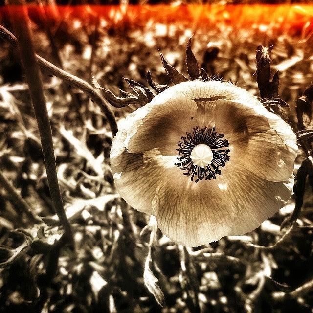Poppy Photograph by Tanya Gordeeva