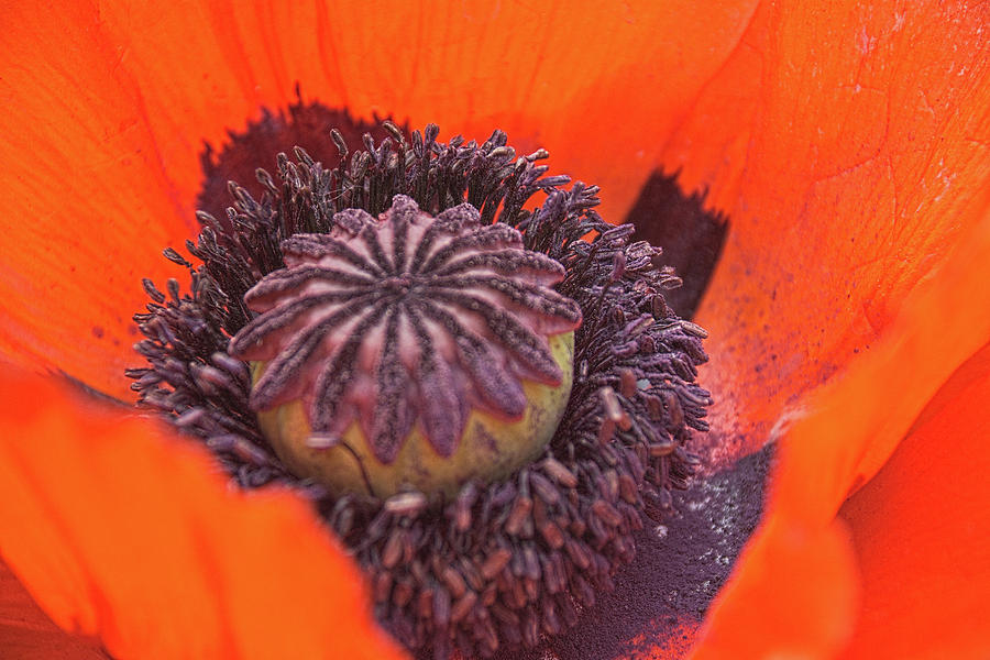 Poppy Photograph - Poppy by Timothy Ruf