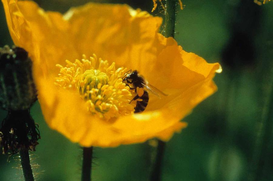 California Poppy Photograph - Poppy With Bee Friend by Laurie Paci